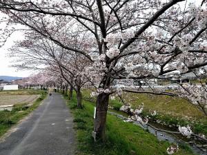 秋篠川の桜並木