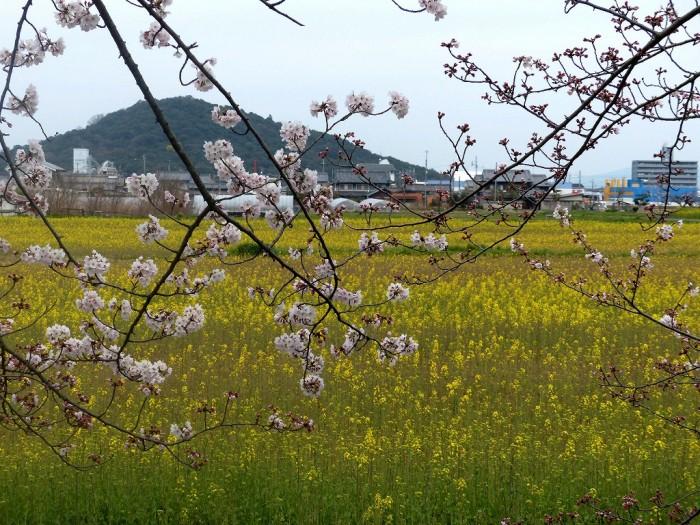 藤原宮跡 菜の花と桜