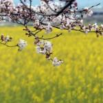 菜の花畑を背景に桜
