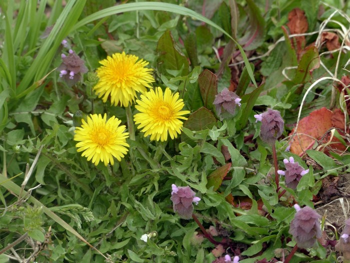 奈良藤原宮跡の菜の花と桜