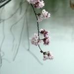 醍醐池と桜